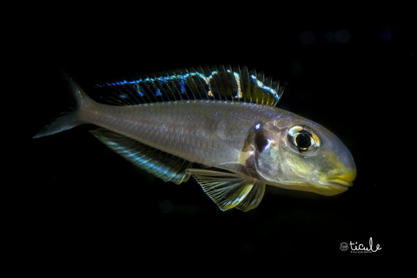 "Xenotilapia sp. bathyphilus ""yellow"" Kekese"