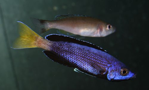 Cyprichromis sp. jumbo brillant couple.jpg