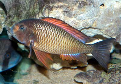 Tropheus-red-kachese.