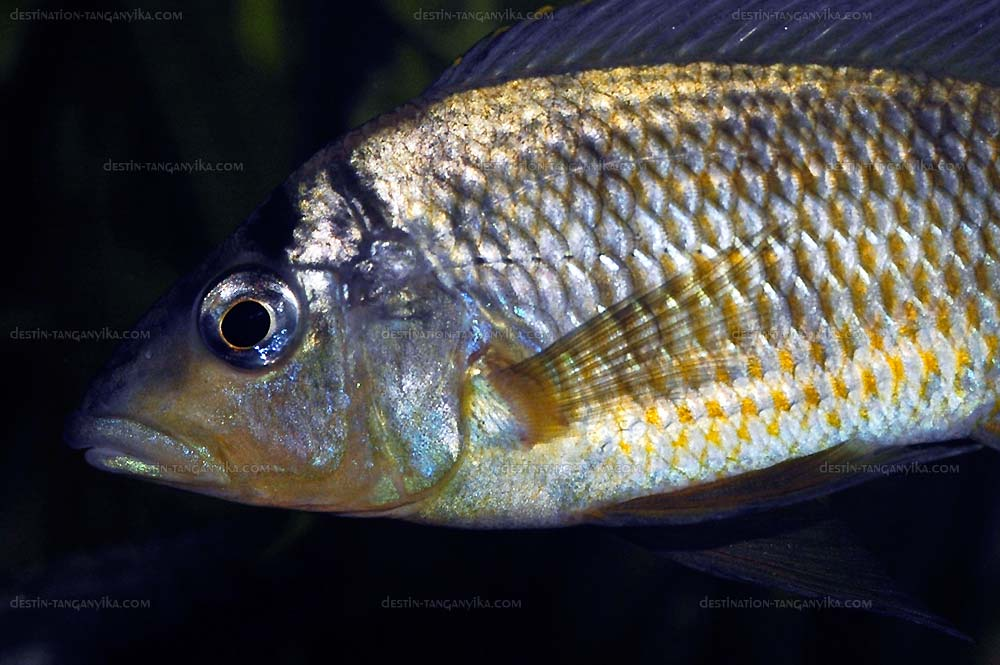 Gnathochromis pfefferi