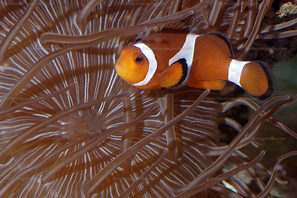 amphiprion-a.jpg