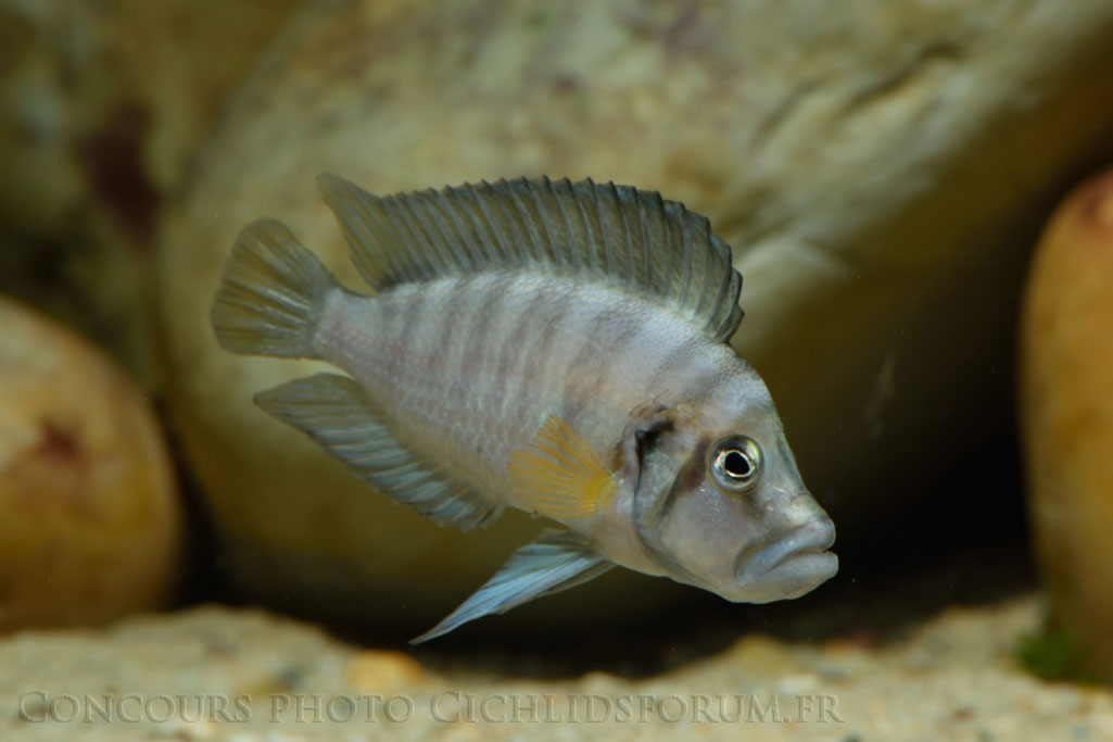Altolamprologus-sp-compressiceps-shell.jpg