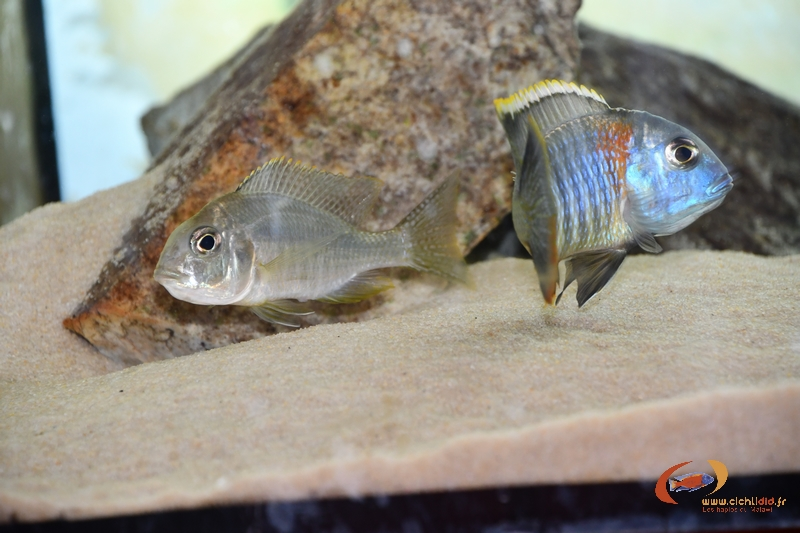 lethrinops sp. mbasi repro.JPG